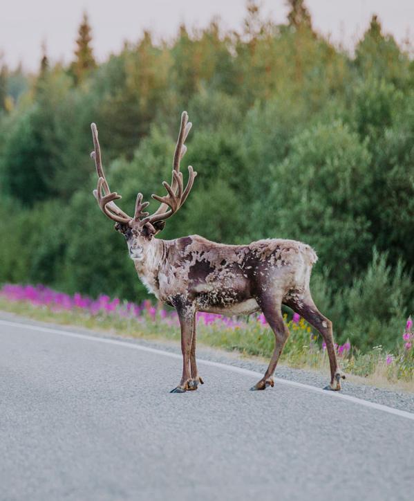 Reindeer-onto-Street_Credits-Julia-Kivela_Visit-Finland