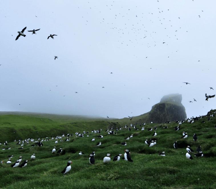 Birds-on-field-on-Faroe-Islands,-Credits--visit-faroe-islands