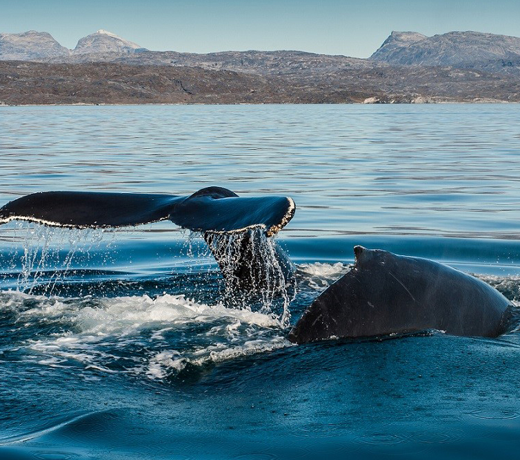 Two humpback whales diving outside Nuuk in Greenland
