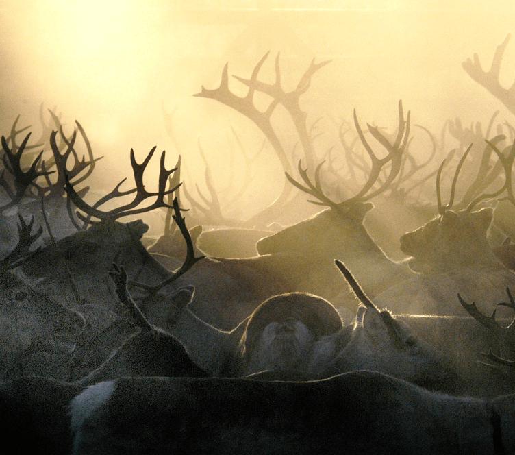 Reindeers-Lapland_credits-Antti-Saraja